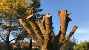 arbre élagué
