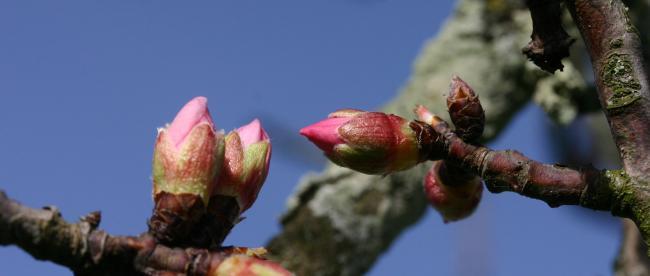 bourgeons rose amandier