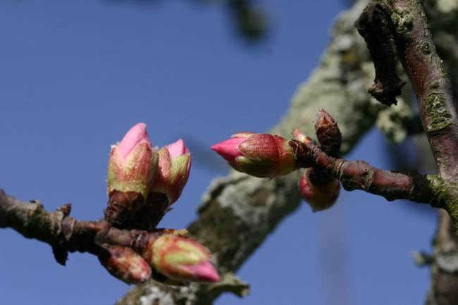 bourgeons rose amandier