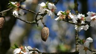 amande arbre fleurs