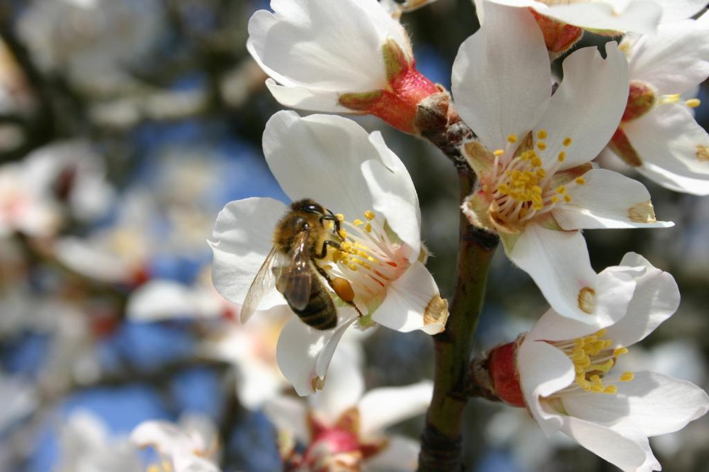 amandier en fleurs abeille