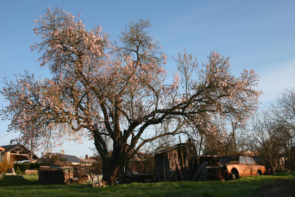 arbre floraison rose