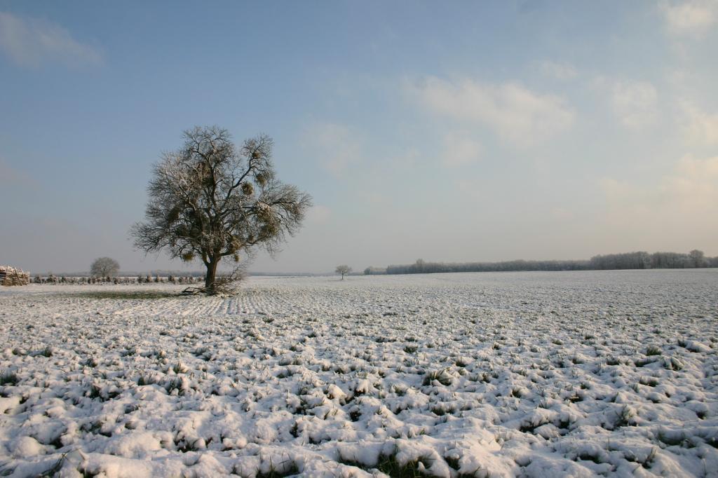 amandier sous la neige