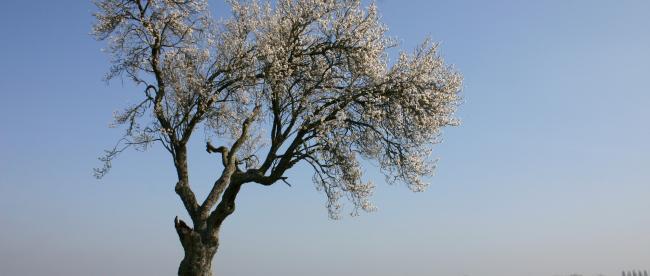 vieil amandier en fleurs