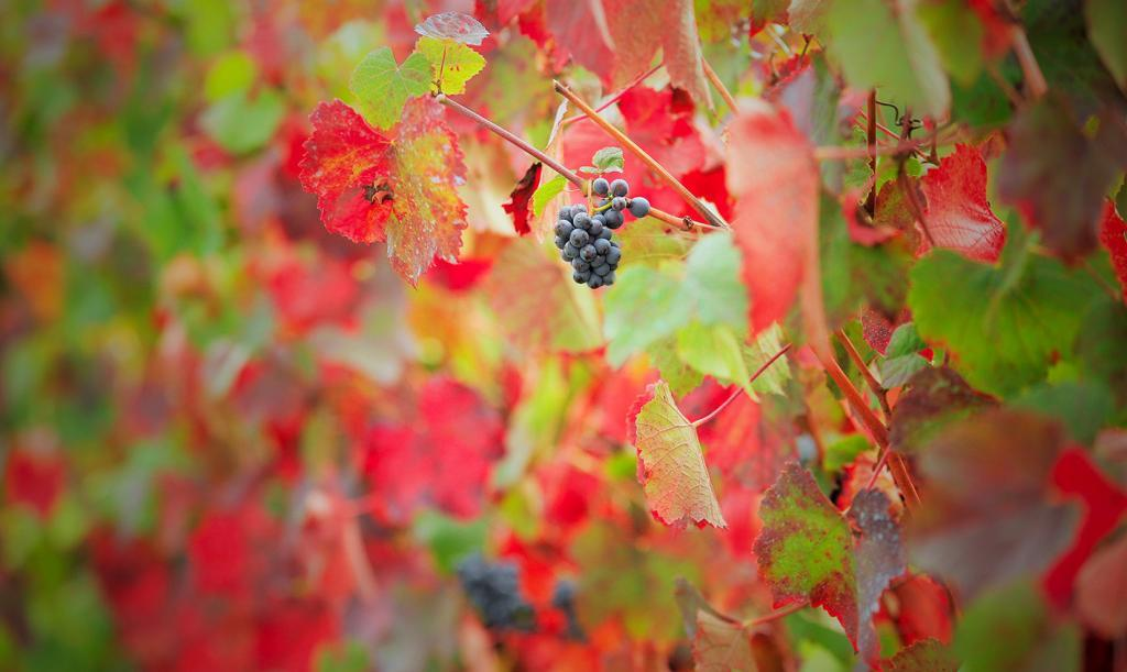 photographie vignes grappe
