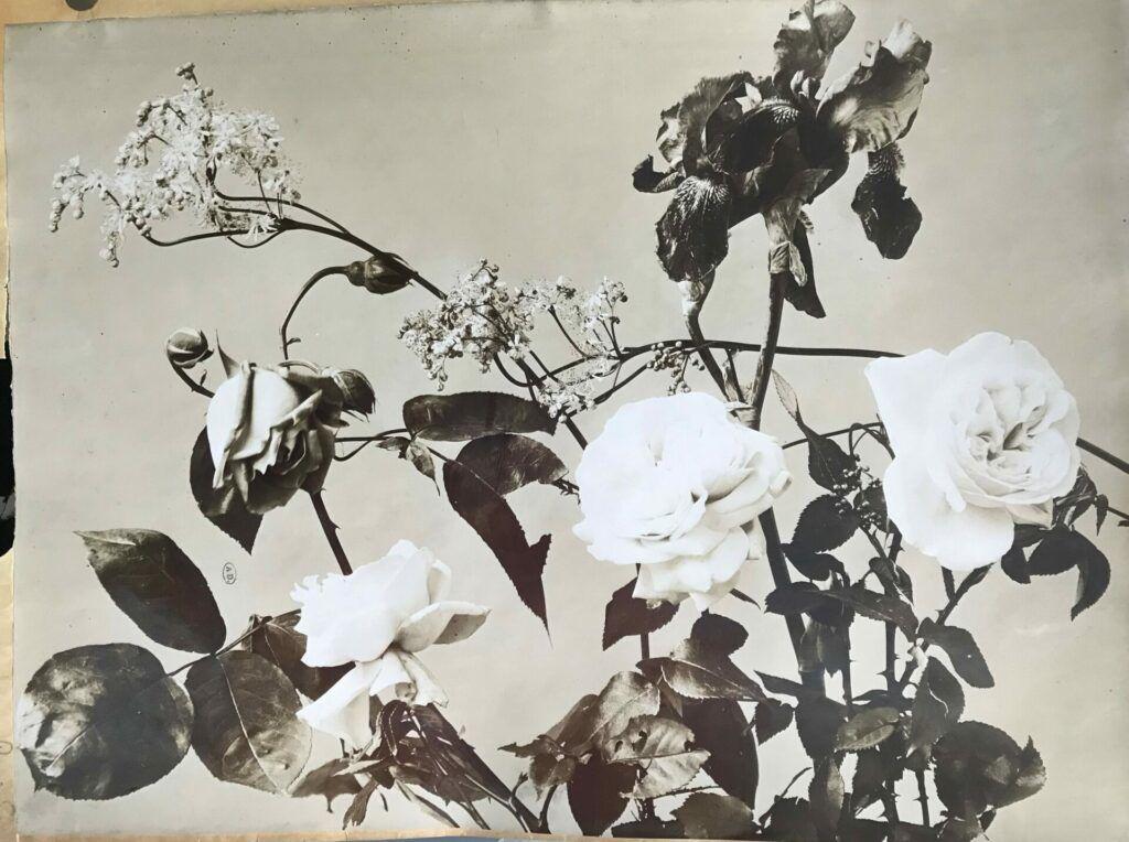 Roses. Epreuve sur papier albumine a partir dun negatif verre au collodion sec contrecollee sur carton Bibliotheque des Arts Decoratifs Paris France